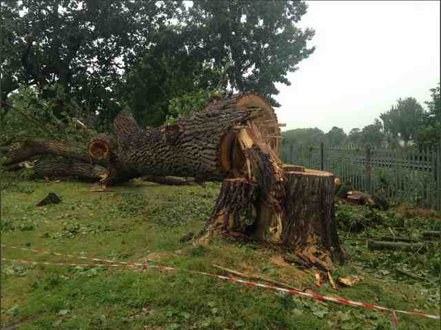 large tree cut near pallisade fence