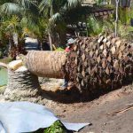 palm wilt cutting down near a pool port elizabeth south africa